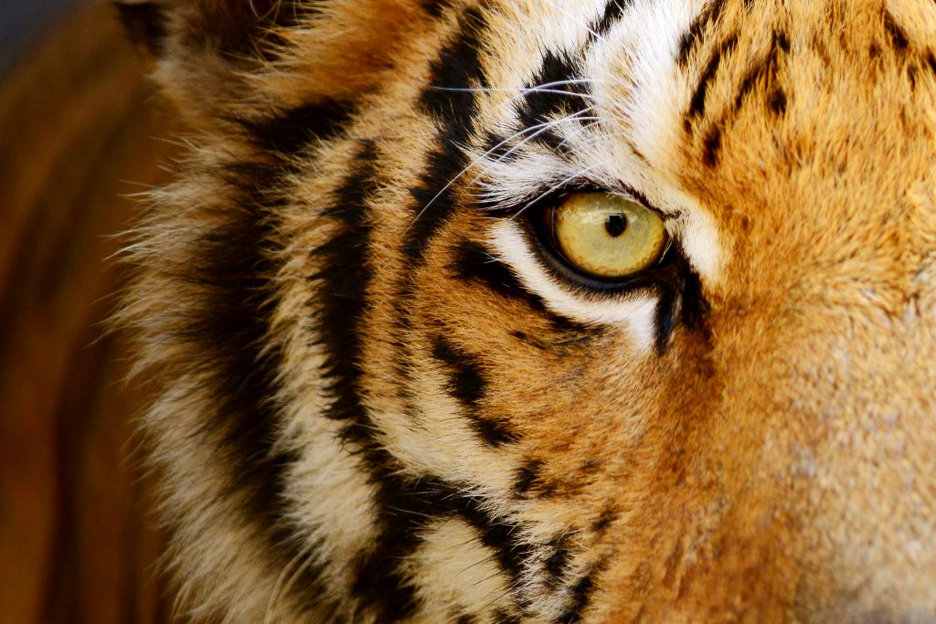 The 'Big Eight' tips for a thrilling safari ride to India through the wild eyes of a TIGER!